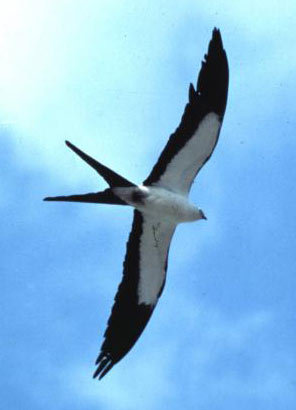 american_swallow-tailed_kite_image001.jpg